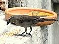 Molotrhus bonariensis (Chamón parásito) - Hembra (14191684920).jpg