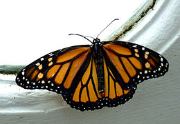 MonarchButterflyApril2008.jpg