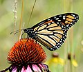Monarch butterfly on purple coneflower (35592306774).jpg
