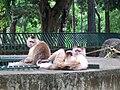 Mono capuchino.jpg