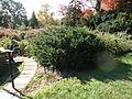 Morris Arboretum Sedum spathulifolium.JPG