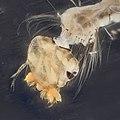 Mosquito in quartz sanitizer photoshopped detail (9736475635).jpg