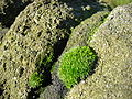 Moss on a dry stone wall.jpg
