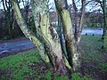 Mossy sycamore tree trunks, Broadsands beach car park - geograph.org.uk - 1617704.jpg