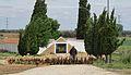 Motilleja, cementerio, rebaño ovejas.jpg