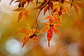 Mottled maple leaves.jpg