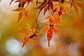 Mottled maple leaves.jpg