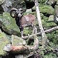Mouflon de Corse Aran Park 14082018 1.jpg
