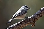 Mountain Chickadee (15241498235).jpg