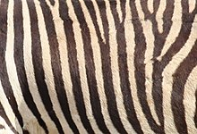 Closeup shot of mountain zebra stripes