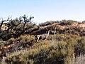 Mule Deer, Landscape Arch, Arches National Park, Moab, Utah (68896465).jpg