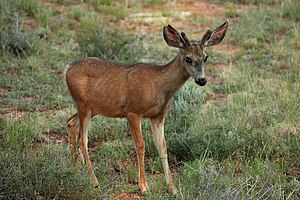 Capreolinae - Mule deer (Odocoileus hemionus)