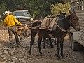 Mule packer on Klamath National Forest (16182738490).jpg