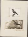 Muscicapa griseola - 1700-1880 - Print - Iconographia Zoologica - Special Collections University of Amsterdam - UBA01 IZ16500177.tif