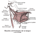 Muscles extrinsèques de la langue.png