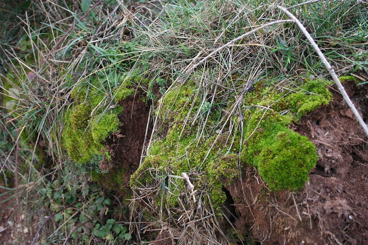 Bryophyta sensu stricto Wikipedia la enciclopedia libre