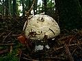 Mushroom - panoramio (9).jpg