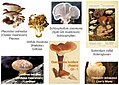 Mushrooms-containing--13-glucans-with--16-branching.jpg