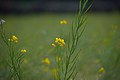 Mustard (Brassica) flowers and seed pods D35 2153 01.jpg