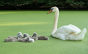 Mute swan and cygnets in Prospect Park (80377).jpg