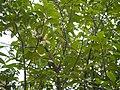 Muttainari Kongu (Tamil- முட்டைநாரி கோங்கு) (21840297436).jpg