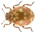 Myrrha octodecimguttata (Linnaeus, 1758).png