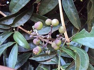Myxopyrum - Myxopyrum smilacifolium