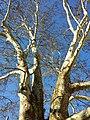 NÖ-Naturdenkmal KO-011 2 Platanen sl2.jpg