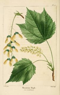 <i>Acer spicatum</i> species of plant