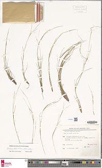 caption=Setaria distantiflora (A.Rich.) Pilg., herbarium sheet
