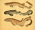Naturgeschichte in Bildern mit erläuterndem Text (Taf. I) (6059202542).jpg