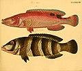 Naturgeschichte in Bildern mit erläuterndem Text (Taf. XCVII) (6058674721).jpg