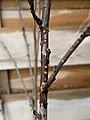 Nectria cinnabarina 60831825.jpg