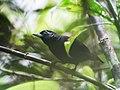 Neoctantes niger - Black Bushbird - male (cropped).jpg