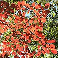 Neoshirakia japonica (leaf s7).jpg
