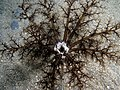 Neothyonidium magnum (Burrowing sea cucumber) at night.jpg