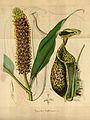 Nepenthes rafflesiana - Flore des serres et des jardin de l'Europe (1847).jpg