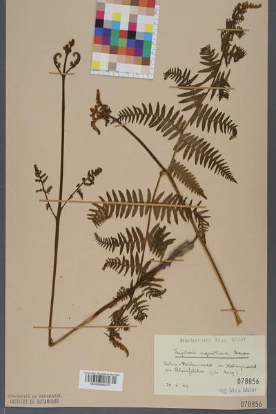 File:Neuchâtel Herbarium - Pteridium aquilinum - NEU000000727.tiff