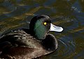 New Zealand Scaup (13091876604).jpg