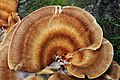 Nice coloured rings at this Meripilus giganteus (GB= Giant Polypore or Black-staining Polypore, D= Riesenporling, F= Polypore géant, NL= Reuzenzwam) white spores and causes white rot, at Mariendaal - panoramio.jpg