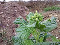 Nicotiana rustica sl12.jpg