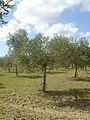 Nocellara del Belice from Sicily.jpg