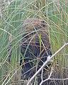 North American Beaver (Castor canadensis) - Killarney, Ontario.jpg
