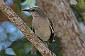 Northern Mockingbird (Mimus polyglottos) (8591588031).jpg