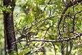 Northern mockingbird (33971544913).jpg