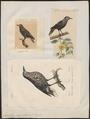 Nucifraga caryocatactes - 1700-1880 - Print - Iconographia Zoologica - Special Collections University of Amsterdam - UBA01 IZ15700163.tif