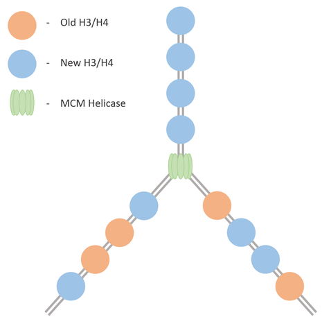 Conservative reassembly of core H3/H4 nucleosome behind the replication fork.