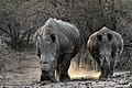 Nw 9302 white rhinos Tshukudu JF.jpg