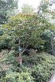Nyssa sinensis - Chengdu Botanical Garden - Chengdu, China - DSC03581.JPG