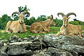 ONTARIO-00483 - Barbary Sheep (14842922512).jpg
